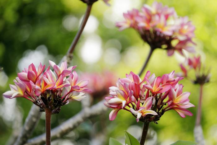 Plumeria, frangipani flowers blooming in Antigua&Barbuda